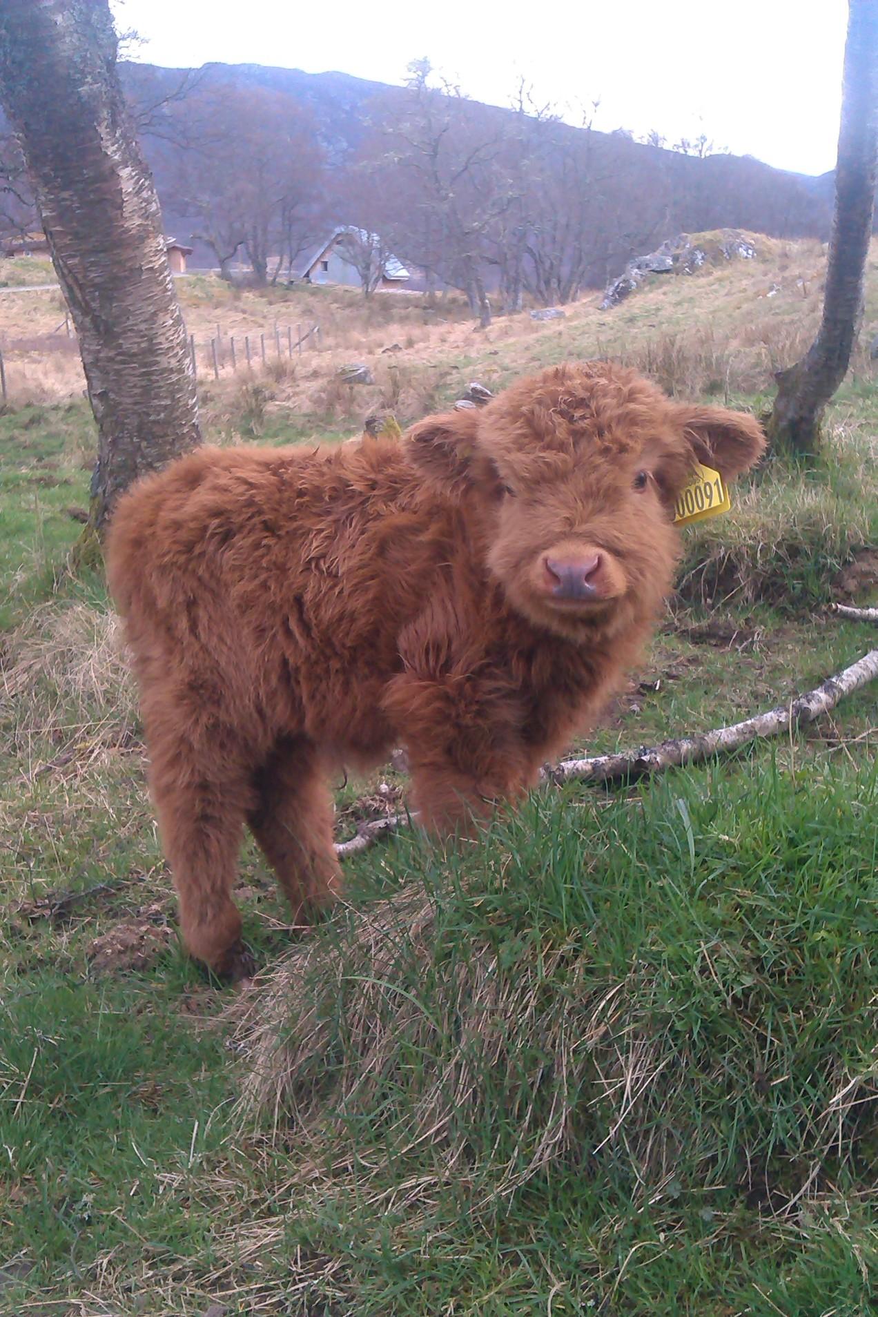 Half calf