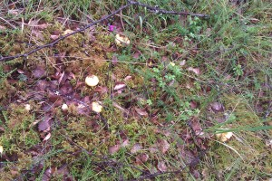 Gold nuggets among the moss